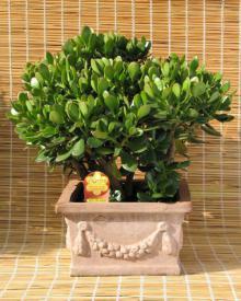 მცენარე, რომელიც დადებით გავლენას ახდენს ადამიანის სხეულზე, ასუფთავებს ჰაერს და ხასიათდება ანტივირუსული აქტივობით