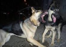 თბილისში აფრიკის გარე უბანში მარყუჩით მგელი დაიჭირეს!?