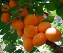 სრულიადში ცოტა რამ ხილის ამ სახეობის შესახებ…