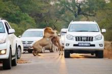 ლომების ნადირობა ავტომაგისტრალზე