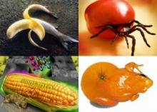 რა საფრთხეს გვიქმნის გენმოდიფიცირებული პროდუქცია?! ეს უნდა იცოდეთ!
