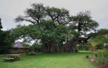 გარეგნულად ჩვეულებრივი ხეა, მაგრამ ვერასდროს წარმოიდგენთ რა იმალება მის შიგნით