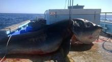 """""""ზვიგენური რეალობა"""" ავსტრალიაში 6 მეტრიანი ზვიგენი აღმოაჩინეს!"""