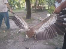 კახში გიგანტური ფრინველი ადამიანებს თავს დაესხა Photos