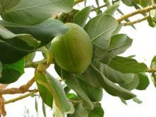 სოდომის ვაშლი