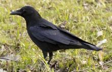 ყველაზე ჟკვიანი ფრინველი
