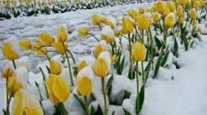 ყვავილები თოვლში