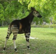 ზებრა თუ ჟირაფი?! ერთ-ერთი უიშვიათესი ცხოველი ჩვენს პლანეტაზე!