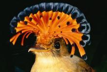 სამოთხის ფრინველი –  ყველაზე ლამაზი ფრინველი დედამიწაზე