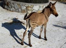 ჰიბრიდული ცხოველები,რომლის არსებობა შესაძლოა არც იცოდით