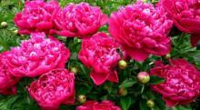 რას ნიშნავს ყვავილები ფენ-შუიში