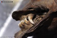 მეცნიერები დ ექსპერტები ათასწლეულების წინ გარდაცვლილი ადამიანებისა და მუმიფიცირებული ცხოველების კბილებსა და ტვინს სწავლობენ