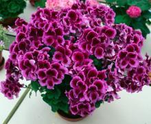 სახლში რომ ყოველთვის ზაფხული იყოს. ყვავილები, რომლებიც მთელი წლის მანძილზე ყვავის