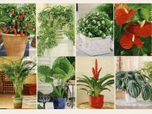 ალერგიული რეაქციის გამომწვევი სახლის მცენარეები