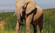 ცხოველების ორსულობის პერიოდი -  ესენი იცოდით? თუ არა დაიმახსოვრეთ!(VII ნაწილი)