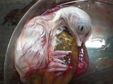დაუჯერებელი ექსპერიმენტი!!! როგორ იბადება წიწილა კვერცხის გარეშე?!