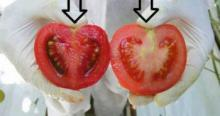 საწამლავი, რომელსაც ვჭამთ, როგორ გავარჩიოთ ნამდვილია პომიდორი თუ გენმოდიფიცირებული