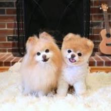 ძაღლები, რომლებიც კარგად ეგუებიან ბინას TOP 3