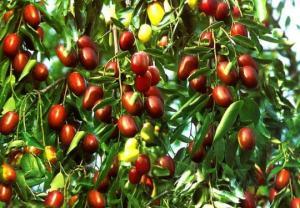 უნაბი- სიცოცხლის ხე, მცენარე რომელიც სასწაულებს ახდენს