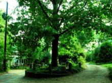 ხე რომელიც საკუთარი თავისა და მიწის კანონიერი მფლობელია