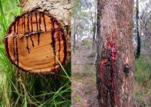 სისხლიანი ხე