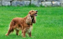 მონადირე ძაღლის ერთგულებამ მთელი ოჯახი და ნათესაობა განაცვიფრა და ცრემლები მოჰგვარა