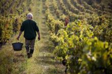 რა უნდა იცოდეთ თუ ვაზის დარგვას და ღვინის დაყენებას აპირებთ