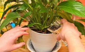 ნაყენი, რომელიც ყველაზე დასუსტებულ მცენარესაც კი სიცოცხლეს დაუბრუნებს