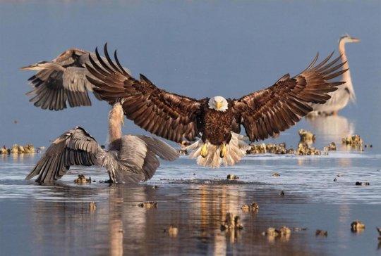 ორნიტოლოგიური ფოტოკონკურსის Audubon Photography Awards 2016 გამარჯვებული ფოტოები