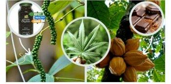 მცენარეები, რომლებიც კანაფის ანალოგები არიან და იმავე მოქმედება ახასიათებთ რაც კანაფს