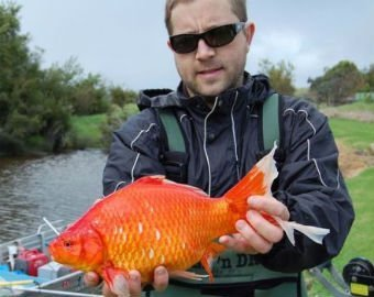 ავსტრალიაში აკვარიუმის გიგანტური  ოქროს თევზები  დაიჭირეს