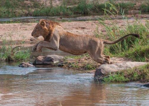 ველური ბუნების მეფე ლომი