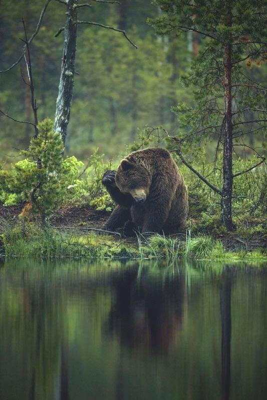 დათვი ძალიან ლამაზ კადრში
