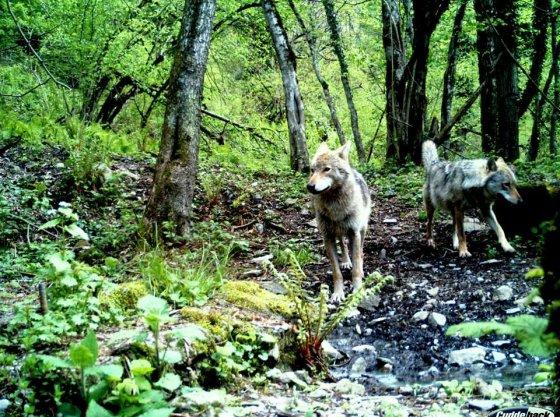 მგლები ლაგოდეხის ნაკრძალში