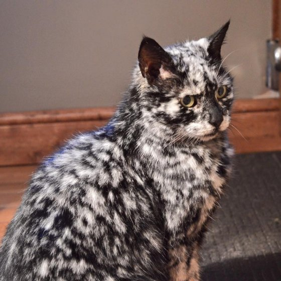 Картинки по запросу vitiligo cat