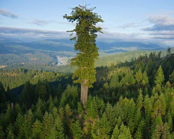 ჰიპერიონი, ყველაზე მაღალი ხე მსოფლიოში. მისი სიმაღლე 115 მეტრზე მეტია.