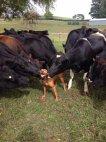 """ძროხებმა ძაღლი """"მიჯირყნეს"""""""