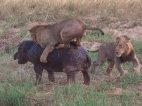 ლომების თავდასხმა ბეჰემოთზე