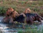 ლომები არ ინდობენ პატარა ბეჰემოთს