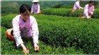 როგორ დავიკლოთ მწვანე ჩაით...