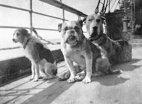 ძაღლები,რომლებიც ტიტანიკის კატასტროფას გადაურჩნენ.