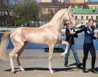 ყველაზე ლამაზი ცხენი მსოფლიოში:ახალ-ტეკის ჯიში(თურქმენეთი)