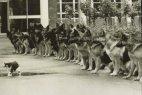კატა და გაწრთვნილი გერმანული ნაგაზები - პოლიციის ძაღლების საფინალო გამოცდა.