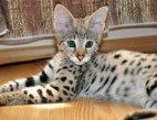 ძვირადღირებული ცხოველი - სავანას კატა