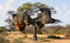 უივერების (ფრინველის  სახეობაა)  ბუდე, ნამიბია