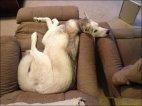 დაღლილი ძაღლი