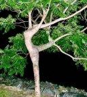 """ბუნების საოცრება-ხე """"გრაცია"""""""