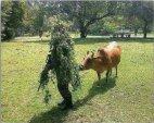მომენტი როცა ძროხა გაგშიფრავს პარტიზანს. შავი იუმორი