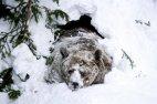 მურა დათვი, სახელად ჯოზეფი იღვიძებს ზამთრის ძილის შემდეგ. რანუას ზოოპარკი