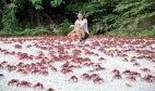 წითელი კიბორჩხალები ყოველ წელს 43 მილიონამდე კვერცხების დასადებად ხმელეთზე ამოდის ხელისუფლება გზებს